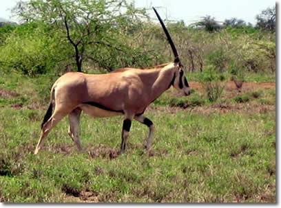 kudu_ethiopia